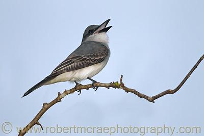 """Gray Kingbird"""