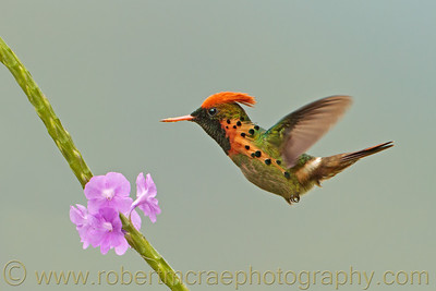 """Carrot Top (Tufted Coquette Hummingbird)"" - Award Winner"