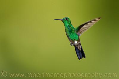 """""""Copper-rumped Hummingbird"""""""