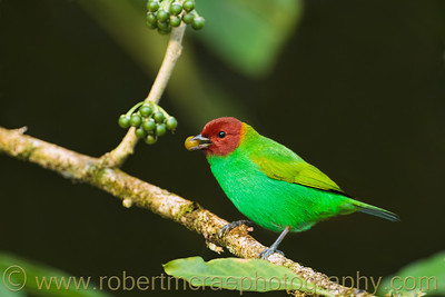 """Bay-headed Tanager"""