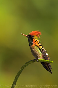 """Tufted Coquette Hummingbird"" - Multiple Award Winner"