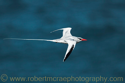 """Red-billed Tropicbird"""