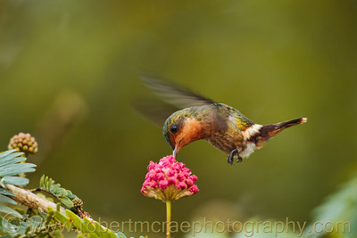 """Tufted Coquette"""