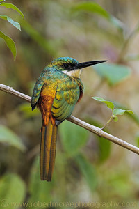 """Rufus-breasted Jacamar"""