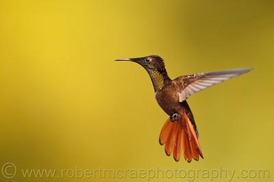 """Ruby Topaz Hummingbird"""
