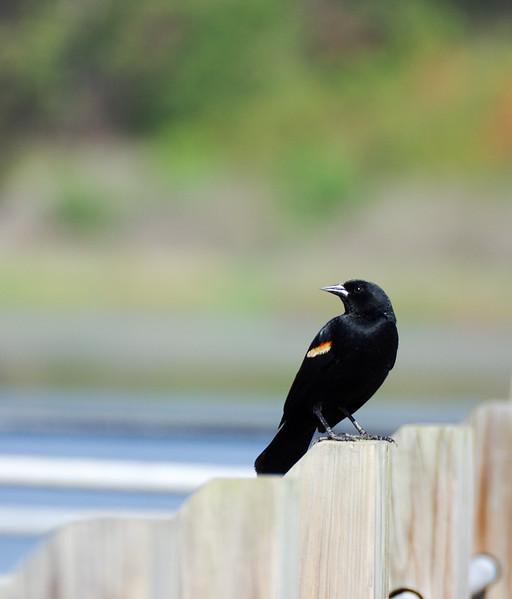 South Carolina Birds 2017