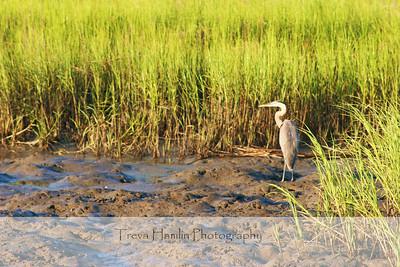 pluff mud heron