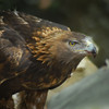 Golden eagle at Grandfather Mountain, North Carolina
