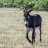 Feral Donkey (Burro)