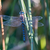 Blue Darner Dragonfly, NAture Conservancy Land, SD