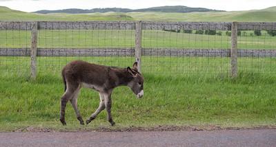 Wild Burro in Custer State Park