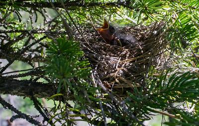 Hangry Birds