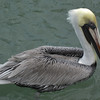 Keys brown pelican