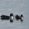 pintails- MINWR
