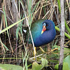 purple gallinule- Everglades