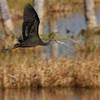 glossy ibis- Viera wetlands