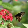 Polydamas swallowtail- Okeeheelee Park