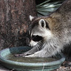 raccoon at the bird bath- Okeeheelee