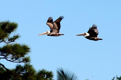A pair of pelicans in flight