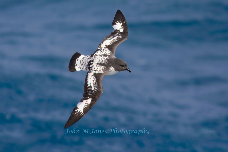 Cape Petrel or Pintado Petrel, at sea, South Georgia