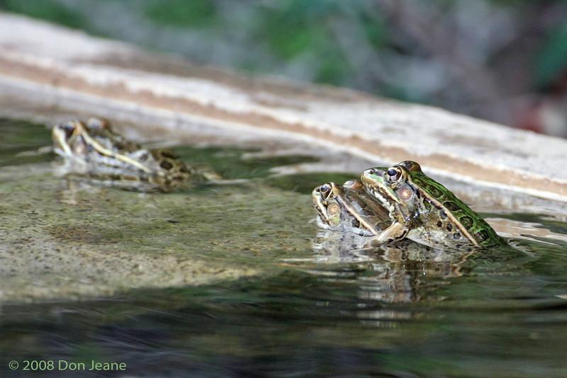 Leopard Frogs. 5/9/2008.