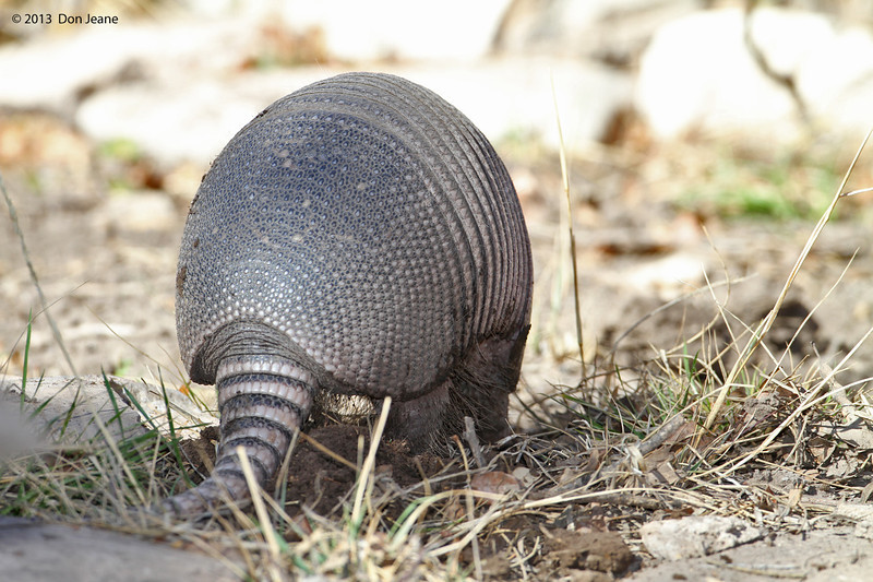 Armadillo, Acorn blind, Feb 13, 2013.