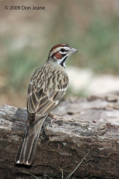 Lark Sparrow, 5/29/2009, Juniper Blind.