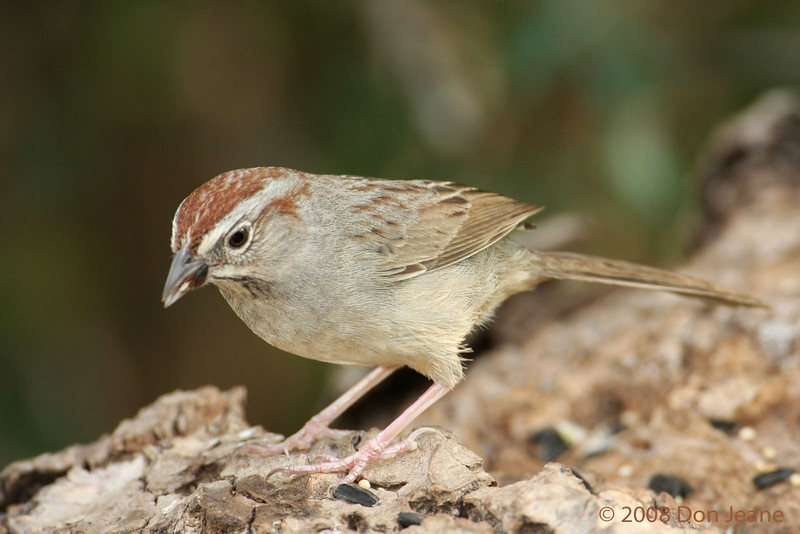 Rufous-crowned Sparrow. 5/7/2008.