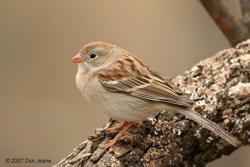 Field Sparrow, S Llano RIver SP. 2/8/2007.