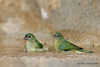 Pair of female Painted Buntings, Lora's blind, 04/30/2012.