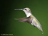 Female Black-chinned Hummingbird. 5/7/2008.