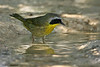 Common Yellowthroat, 5/29/2009, Acorn Blind.