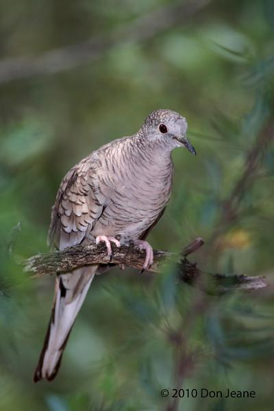 Inca Dove, Agarita Blind, 5/6/2010.