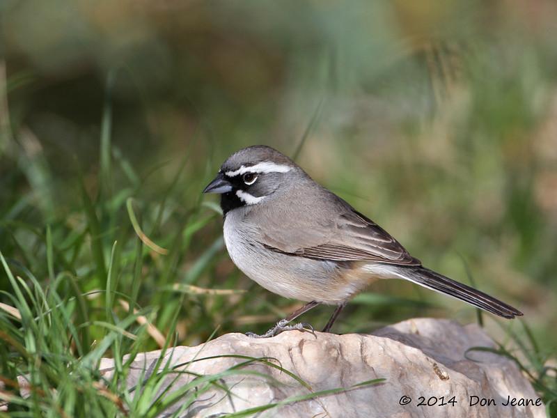Black-throated Sparrow, Agarita blind, 03/03/2014.