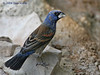 Blue Grosbeak. 5/8/2008.