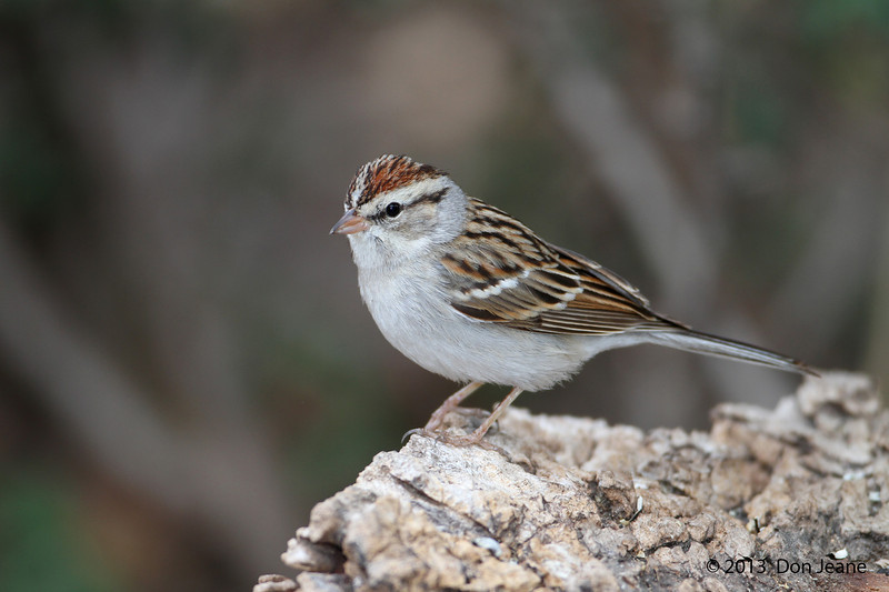 Chipping Sparrow, So Llano River State Park, Feb 11, 2013. I'm a sucker for a good perch.