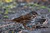 Fox Sparrow, Acorn Blind, 02/01/2017.