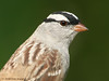 White-crowned Sparrow. 5/6/2008.