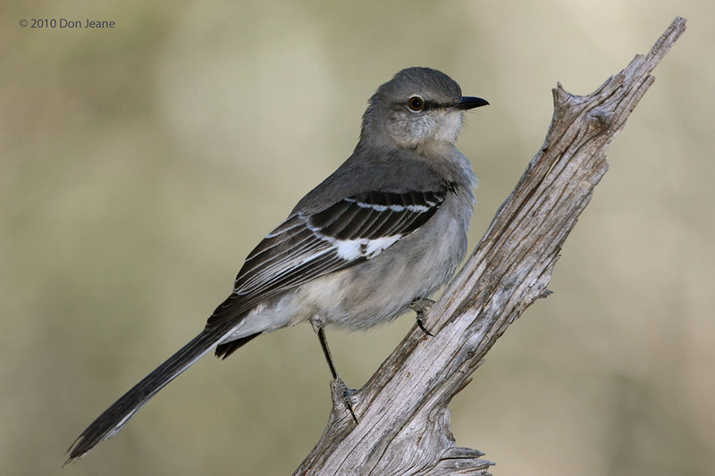 Northern Mockingbird, Juniper blind, 12/01/10