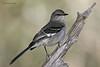 Northern Mockingbird, Juniper blind, 12/01/10