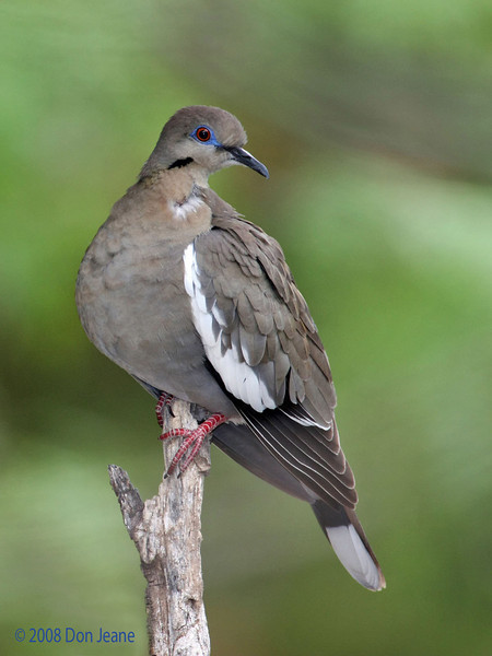 White-winged Dove. 5/4/2008.