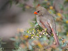 Female Cardinal in Agarita blooms, Agarita blind, 03/03/2014.