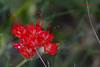 Scarlet Musk-Flower, 6/1/2009.