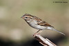 Immature Chipping Sparrow, So Llano, 10/28/2009.