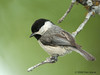 Carolina Chickadee. 5/6/2008.