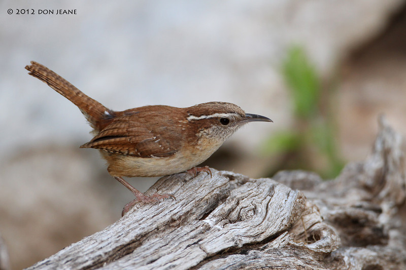 Carolina Wren,  Acorn blind, 05/01/2012. Searching for the rattler that just ate his friend.