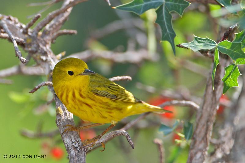 Yellow Warbler, Lora's Blind, 05/04/2012.
