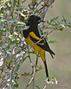 Male Scott's Oriole, Agarita blind. 5/23/2004.