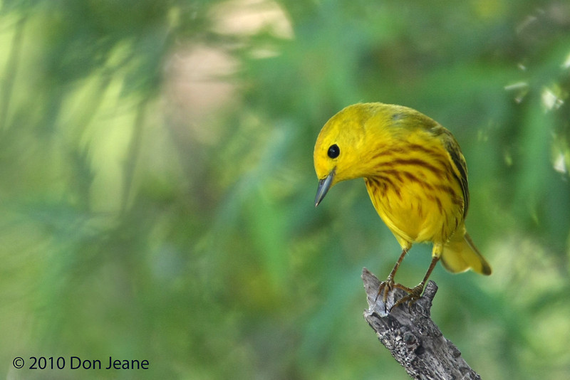 Male Yellow Warbler, Lora's Blind, 5/7/2010.