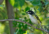 Male Black-capped Vireo, Lora's Blind, 05/01/2015.